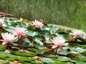 lilies, water
