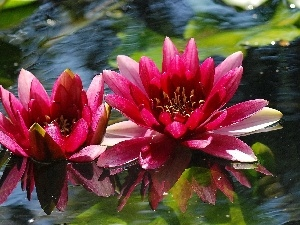water, Red, lilies