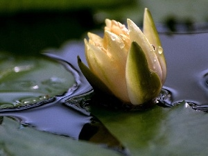Lily, water