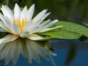 water, Beauty, Lily