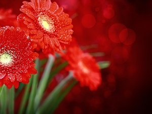 Red, drops, water, gerberas