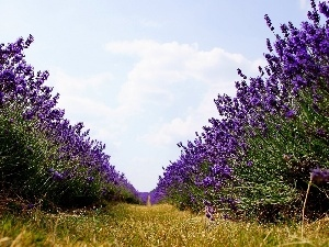 Way, Field, lavender
