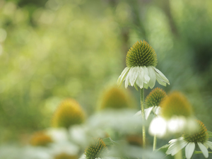 echinacea, Colourfull Flowers, White