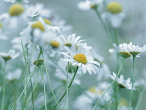 Flowers, Corn Chamomile, White