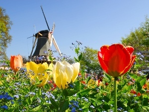Tulips, Windmill