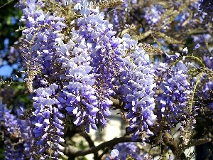 Wisteria, Blue, Flowers