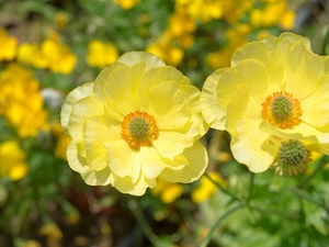 Yellow, Flowers, Anemones
