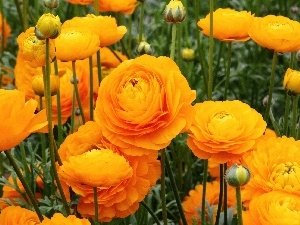 glaucoma, Asian Ranunculus, Yellow