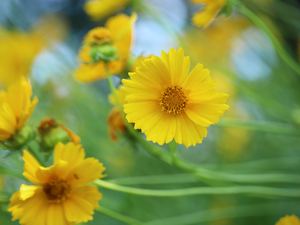 Calliopsis, Flowers, rapprochement, Yellow