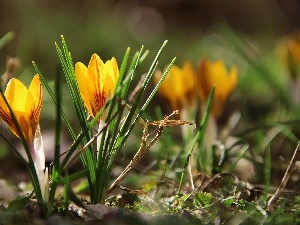 crocus, Yellow
