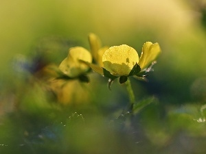 Colourfull Flowers, buttercup, Yellow
