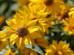 Colourfull Flowers, Rudbeckia, Yellow