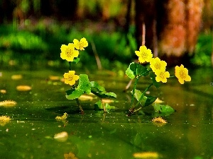 Flowers, marigolds Mud, Yellow