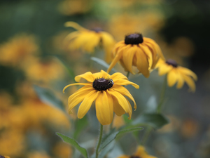 Rudbekie, Flowers, Insect, Yellow