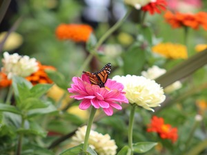 monarch, Monarch Butterfly, Zinnias, butterfly, Flowers